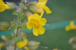 Mimulus - Muscade